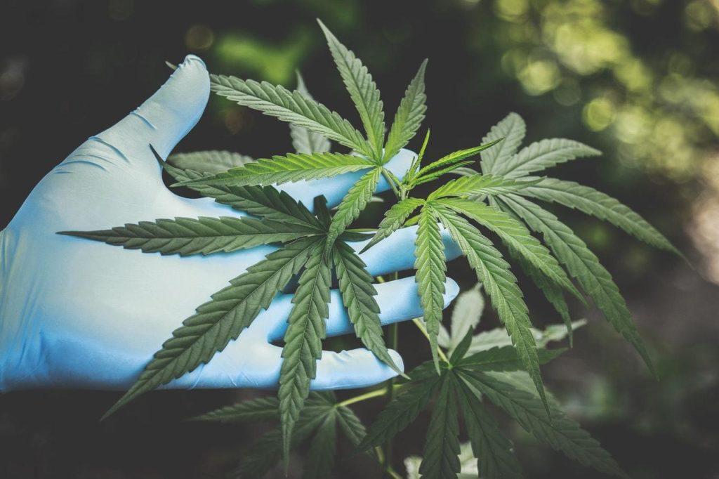 Quelles sont les variétés de cannabis les plus bénéfiques ?