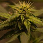 Comment acheter du cannabis sans enfreindre la loi ?