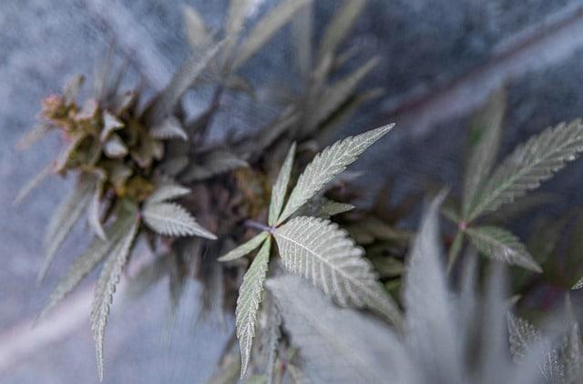 Top 3 idées originales de consommation du cannabis